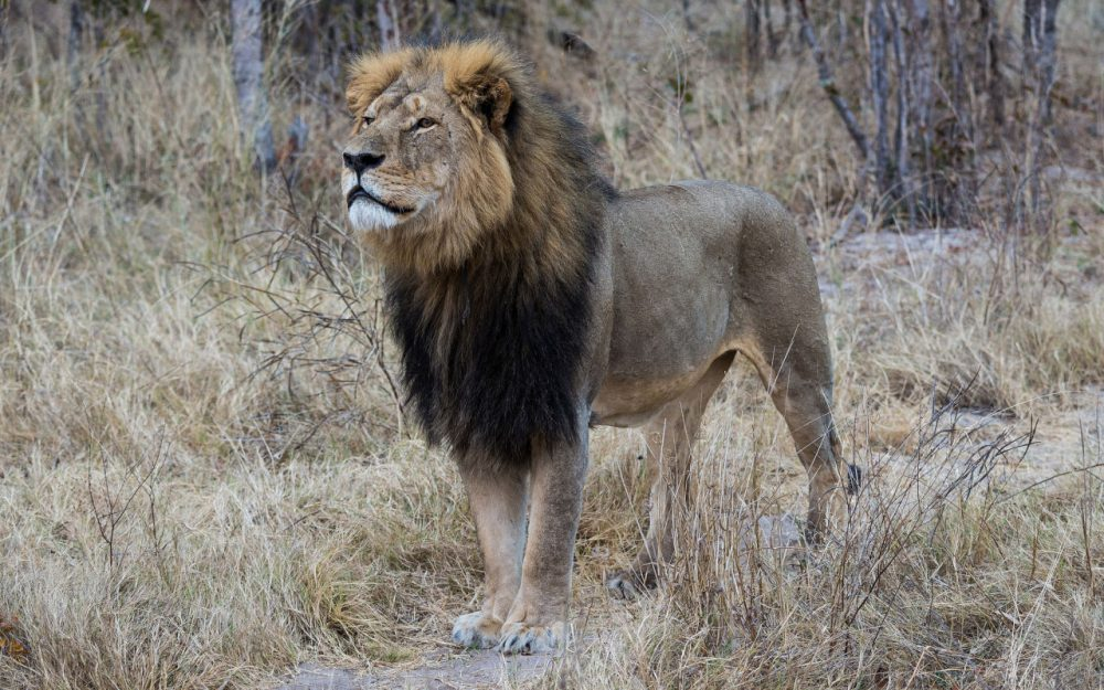 Cecil the lion is pictured in Hwange National Park in July 2014. (Vince O'Sullivan/Flickr)