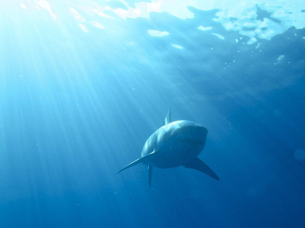 68 sharks were sighted off Cape Cod last year, with 18 of them tagged. (Elisa Levy/Flickr)