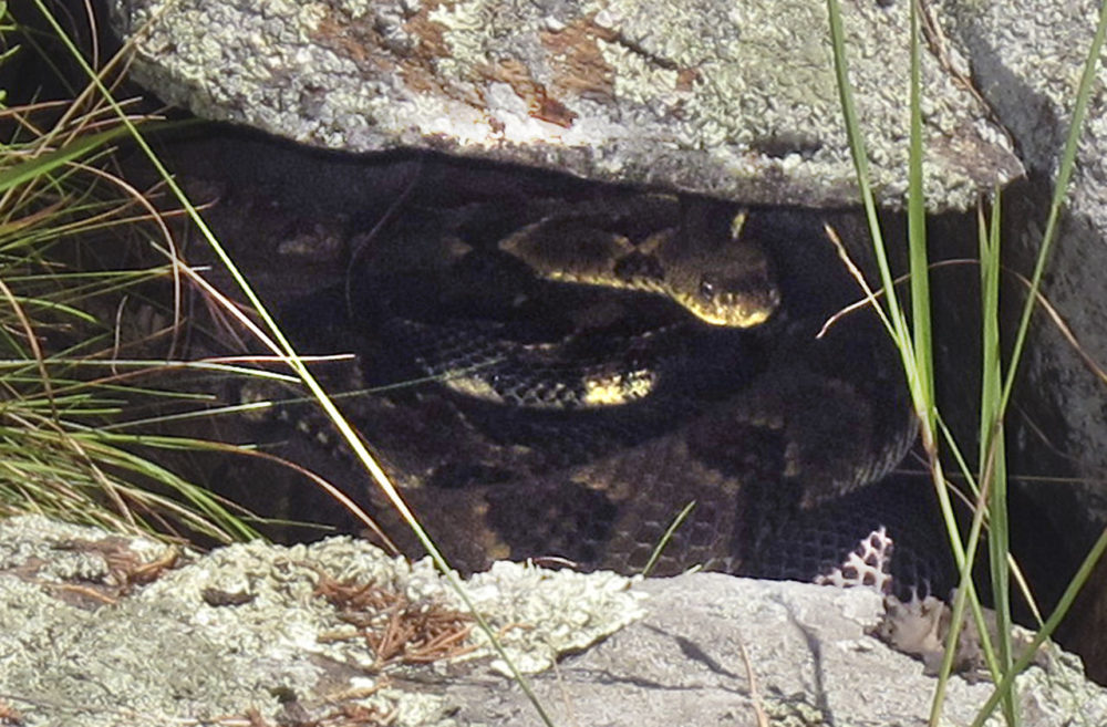 Two rattlesnakes hide in a crack in a rock somewhere in western Rutland County, Vt. on July 31. (Wilson Ring/AP)
