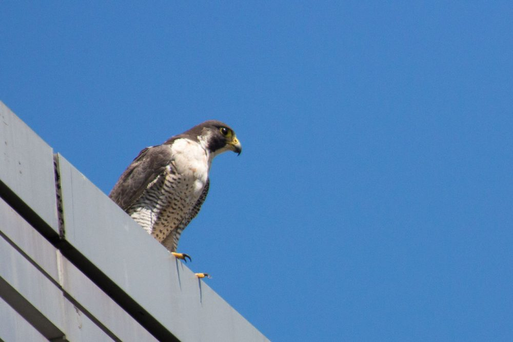 Peregrine falcons are landing on tall ledge tops around Greater Boston, where once they were nearly extinct. Here, an adult female perches on the StuVi2 Tower at Boston University. (Jesse Costa/WBUR)
