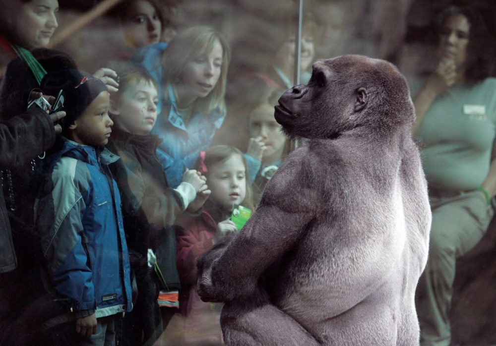Little Joe, a western lowland gorilla, gazes back at visitors to the tropical rain forest exhibit at the Franklin Park Zoo in Boston in 2009. (Michael Dwyer/AP)