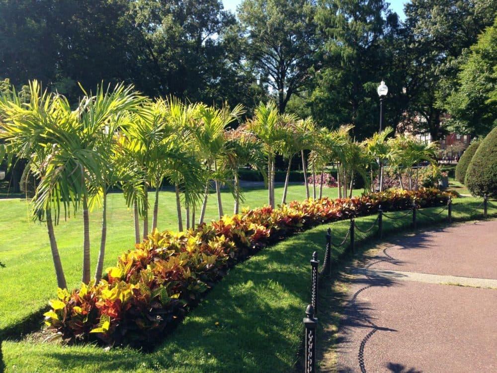 The Boston Public Garden's famed palm trees. (Emma-Jean Weinstein/WBUR)
