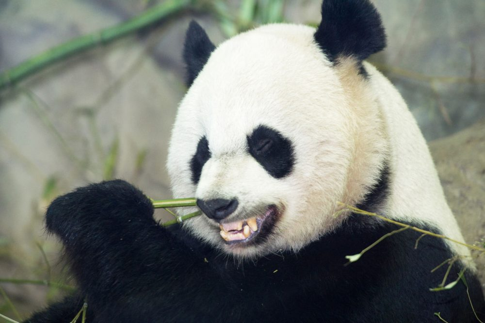 Mei Xiang eats a bamboo breakfast January 6, 2014, inside her glass enclosure at the Smithsonian's National Zoo in Washington, D.C. (Paul J. Richards/AFP/Getty Images)