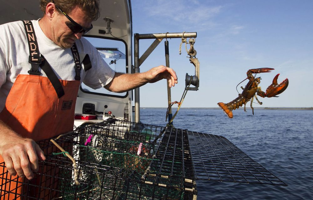 In this 2012, file photo, Scott Beede returns an undersized lobster while fishing in Mount Desert, Maine. Fisherman in northern New England have been catching record numbers of lobsters, but south of Cape Cod, the lobster population has plummeted to the lowest levels ever seen, in a northward shift that scientists attribute in large part to the warming of the ocean. (Robert F. Bukaty/AP/File)