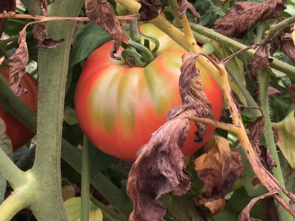 A juicy, August tomato from Barrett's Mill Farm in Concord. (Courtesy Andy Husbands)
