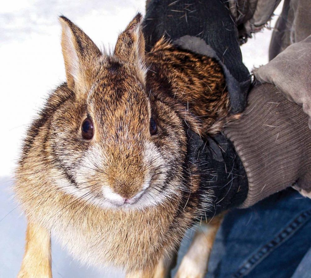 New England Cottontail are no longer on the federal Endangered Species list. (Jeff Breton/Mass Wildlife)