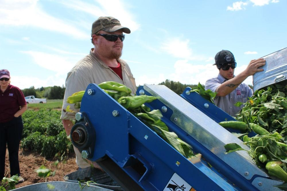Research specialist Chuck Havlik watches the harvester as it progresses along the field. (Carrie Jung/KJZZ)