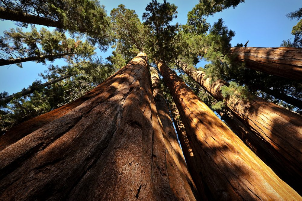 Scientists say the sequoias in California's Sequoia National Park are beginning to show signs of exhaustion because of the drought. (John Bule/Flickr)