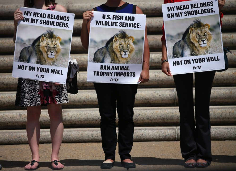 People for the Ethical Treatment of Animals (PETA) protesters hold pictures of Cecil the Lion as they stand in front of the Department of Interior building to protest against the importing of wild game killed as trophies August 5, 2015 in Washington, DC. Peta is calling on the Fish and Wildlife Service to take steps to end cruel trophy hunting by listing lions as a threatened species and banning the importation of their heads, tails, and skins into the U.S.  (Mark Wilson/Getty Images)