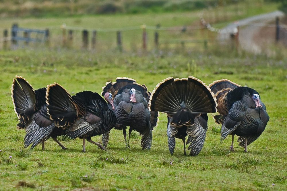 Get out of the popular rafter this holiday season by trying out some great app and podcast suggestions. [Ed. Note: A 'Rafter' is the formal name for a group of turkeys.] (Flickr / Jim Gillum)