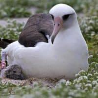 Wisdom the albatross is pictured with her chick in 2014. (Dan Clark/USFWS)