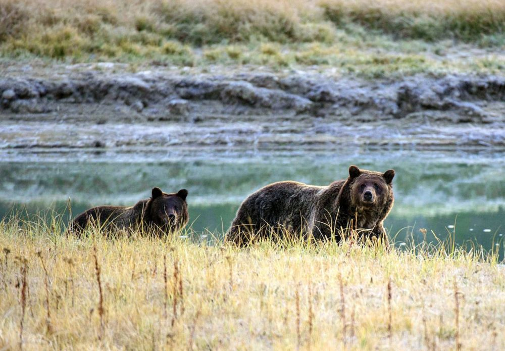 A Grizzly bear mother and her cub walk near Pelican Creek October 8, 2012 in Yellowstone National Park in Wyoming. (Karen Bleier/AFP/Getty Images)
