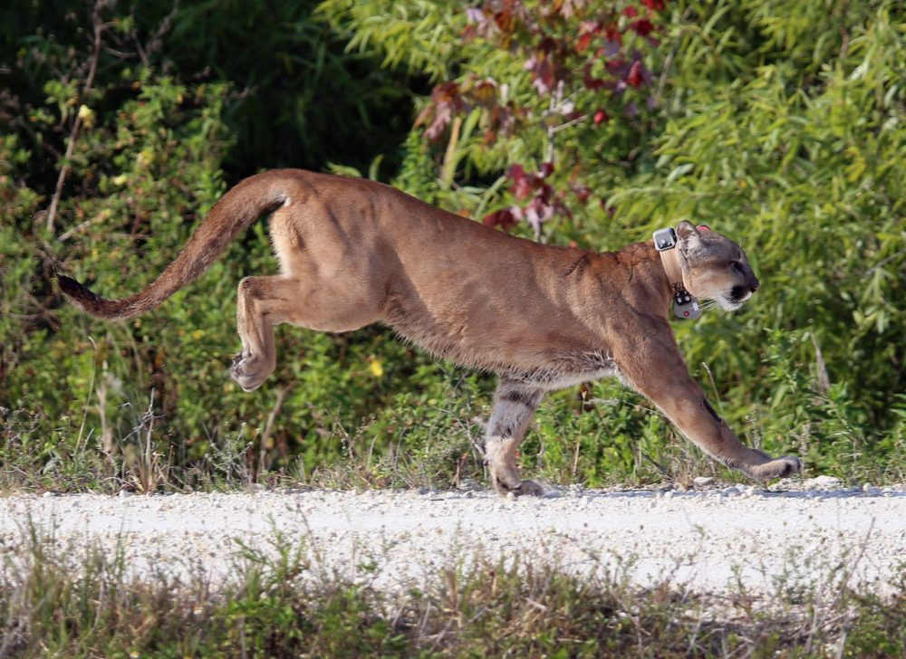 A 2-year-old Florida panther is released into the wild by the Florida Fish and Wildlife Conservation Commission (FWC) on April 3, 2013 in West Palm Beach, Florida.  The panther and its sister had been raised at the White Oak Conservation Center since they were 5 months old. The FWC rescued the two panthers as kittens in September 2011 in northern Collier County after their mother was found dead. The panther is healthy and has grown to a size that should prepare him for life in the wild. (Joe Raedle/Getty Images)