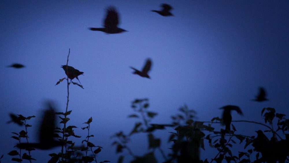 Crows fly from all over the Seattle region to reach their nighttime destination, where thousands upon thousands of them spend the night together. (Ken Christensen/KCTS9)