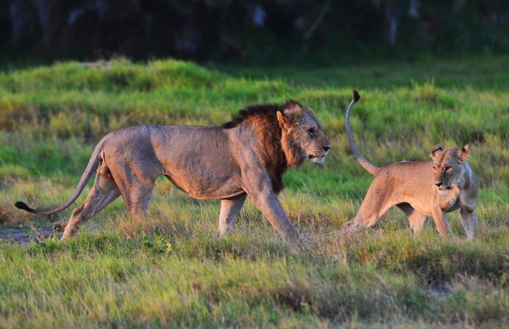 Wild lions are pictured before mating at Amboseli national park in Kenya. (Carl De Souza/AFP/Getty Images)