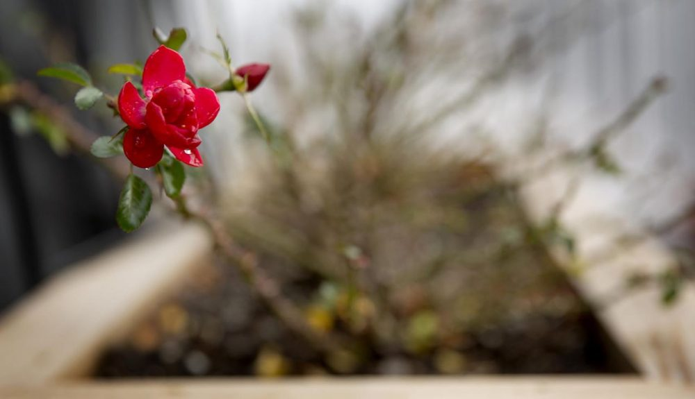 On Christmas Eve, flowers are in bloom on the WBUR deck, as a new Boston temperature record was set. (Robin Lubbock/WBUR)