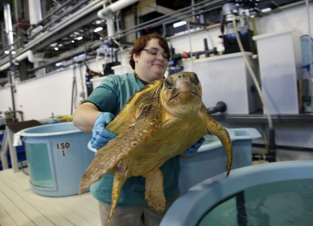 Volunteer Deirdre Witkowski lifts a 40-pound loggerhead turtle back into its pool at the New England Aquarium's Animal Care Center in Quincy. Sea turtle strandings in Cape Cod Bay are so common that the phenomenon has its own annual season and an established network of rescuers trained to find and help the endangered animals. (Elise Amendola/AP)