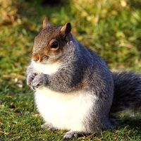 Are chubby squirrels on the rise? Vicki Croke of WBUR's The Wild Life investigates. (Airwolfhound/Flickr)
