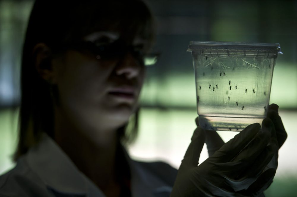 Aedes aegypti mosquitos are seen in containers at a lab of the Institute of Biomedical Sciences of the Sao Paulo University, on January 8, 2016 in Sao Paulo, Brazil. Researchers at the Pasteur Institute in Dakar, Senegal are in Brazil to train local researchers to combat the Zika virus epidemic. (Nelson Almeida/AFP/Getty Images)