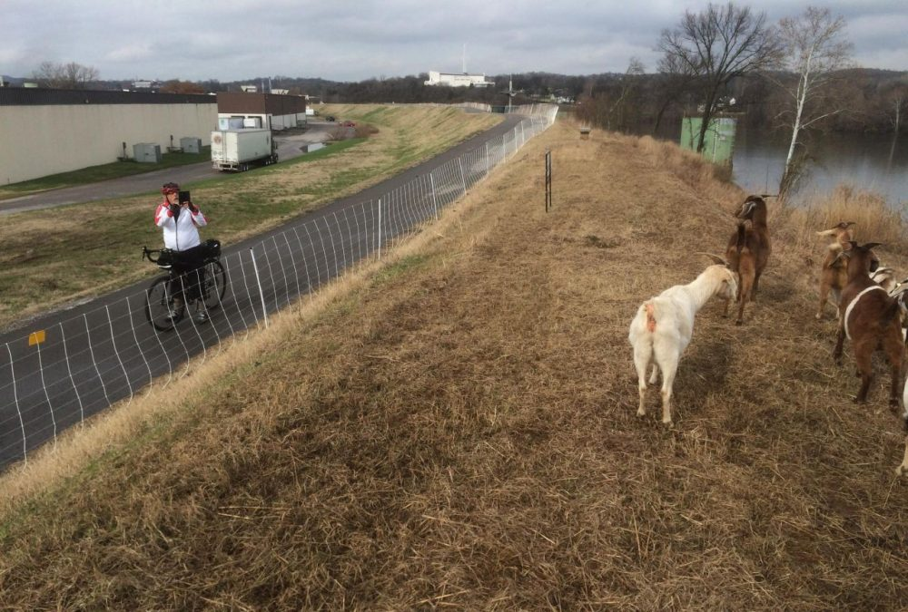 Tony Burdick, one of many regulars on the MetroCenter greenway, stops to take a photo of the goats. (Blake Farmer/WPLN)