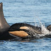 One of the new killer whale calves, J54, is pictured in Puget Sound. (Dave Ellifrit/Center for Whale Research)