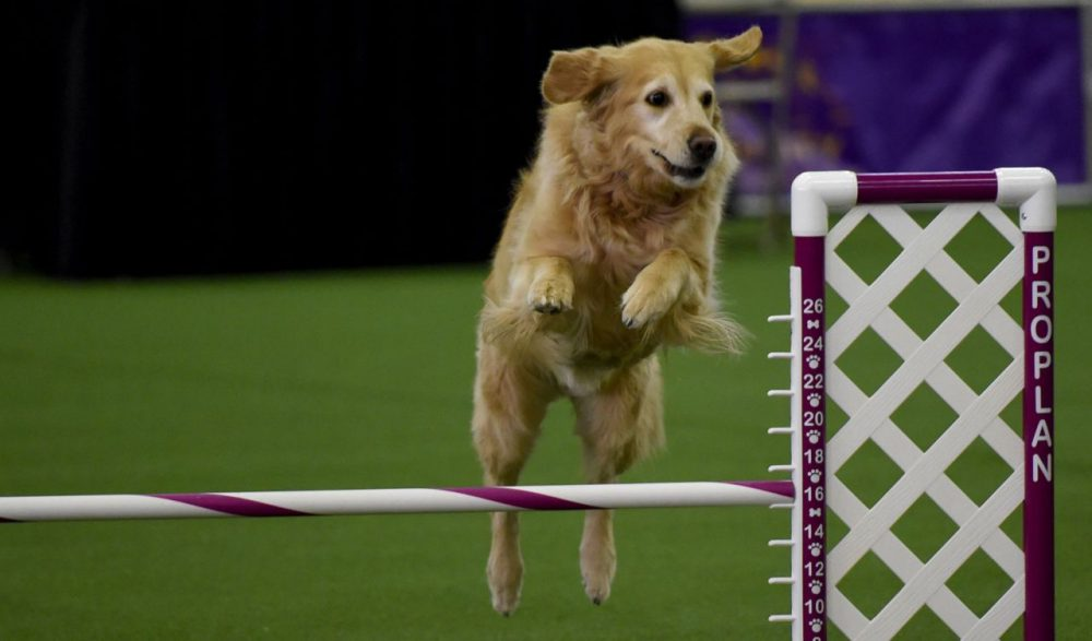 A Golden Retriever runs the agility course during the agility ring during the 3rd Annual Masters Agility Championship on February 13, 2016 in New York, at the 140th Annual Westminster Kennel Club Dog Show.  Dogs entered in the agility demonstrate skills required in the challenging obstacles that they will need to negotiate.  / AFP / Timothy A. CLARY        (Photo credit should read TIMOTHY A. CLARY/AFP/Getty Images)