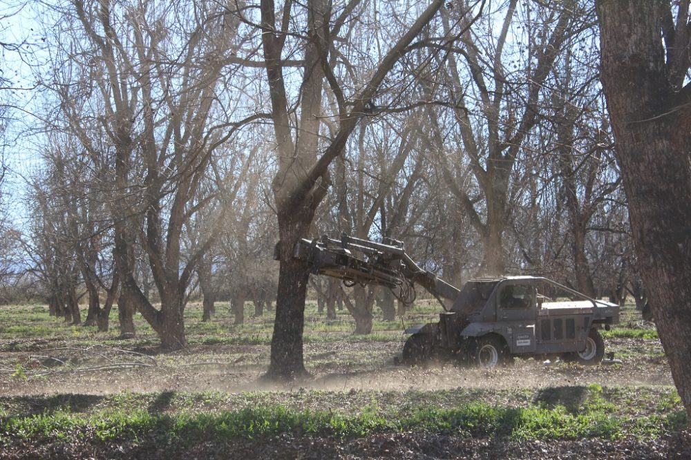 The first step in the pecan harvesting process is to shake the nuts from their branches. (Carrie Jung/KJZZ)