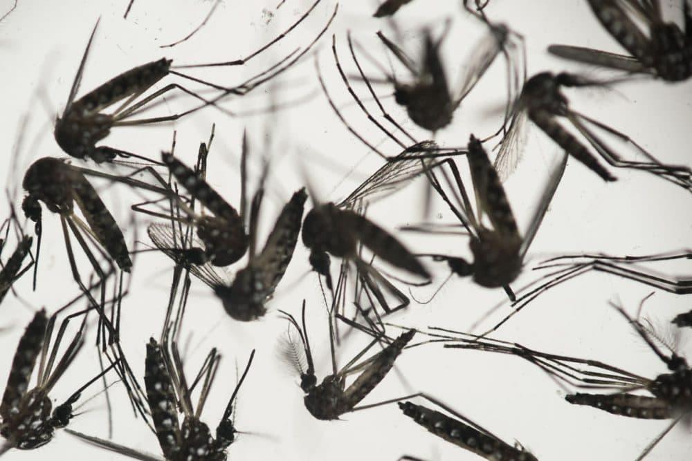 In this Jan. 27 photo, Aedes aegypti mosquitoes sit in a petri dish at the Fiocruz institute in Recife, Brazil. (Felipe Dana/AP)