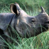"""""""We can celebrate the greater one-horned rhino as one of the biggest success stories in Asia,"""" says WWF's Nilanga Jayasinghe. (World Wildlife Fund)"""