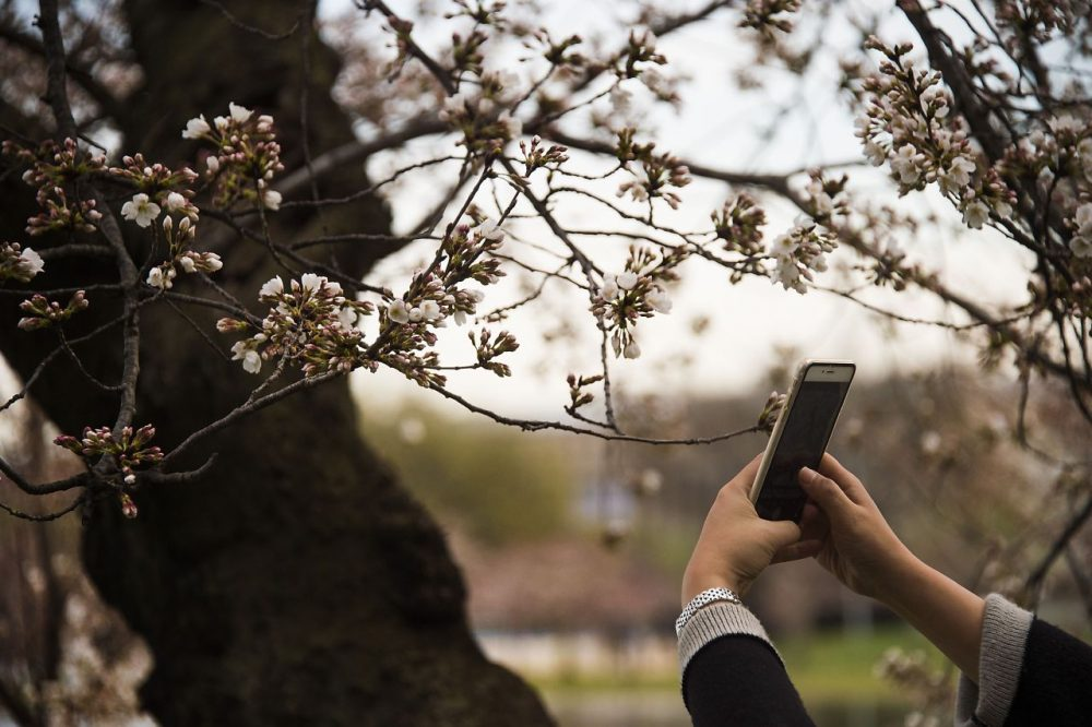 A woman uses her cell phone to take a pictures as the cherry blossoms begin to bloom at the Tidal Basin in Washington, DC, March 22, 2016. (JIM WATSON/AFP/Getty Images)