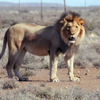 In this July 23, 2015 photo provided by SANParks, Sylvester the lion is seen after he was recaptured after escaping from the Karoo National Park near Beaufor West, South Africa. Now he has broken out again. (Gabriella Venter/SANSParks via AP)
