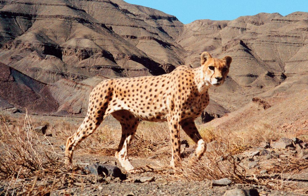a look at the critically endangered asiatic cheetahs here now