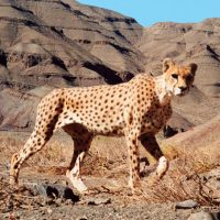Smaller and even thinner than African cheetahs, Asiatic cheetahs, like this one in Naybandan Wildlife Refuge, are now found only in Iran. Today, among their top threats are cars, dogs and gazelle poachers on motorcycles. (Courtesy IR DoE/CACP/WCS/UNDP)