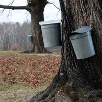 Tapped maples at Drumlin Farm Wildlife Sanctuary. (Courtesy Mass Audubon)