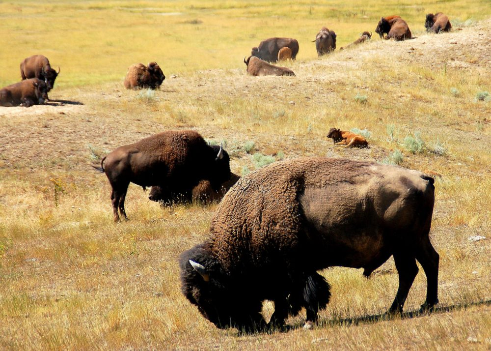 In the 1800s, the bison roamed throughout the U.S., concentrating mostly in the Great Plains. (Keith Ewing/Flickr)
