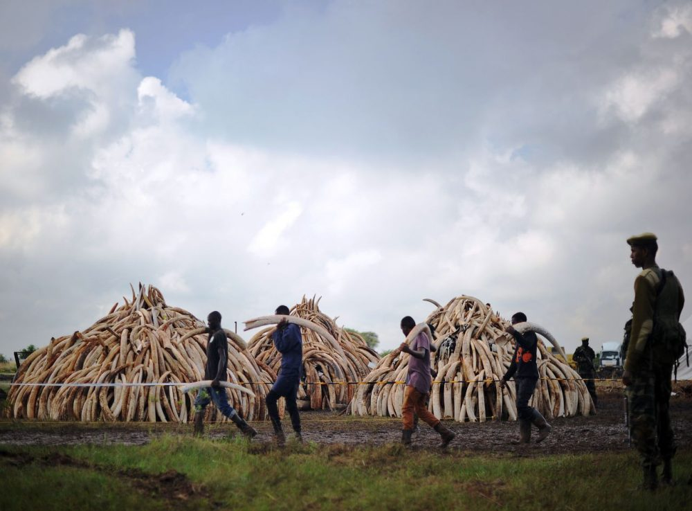 Volunteers carry elephant tusks to a burning site as Kenya Wildlife Services (KWS) ranger keep guard on April 22, 2016 for a historic destruction of illegal ivory and rhino-horn confiscated mostly from poachers in Nairobi's national park.  Kenya on April 30, 2016 will burn approximately 105 tonnes of confiscated ivory, almost all of the country's total stockpile. Several African heads of state, conservation experts, high-profile philanthropists and celebrities are slated to be present at the event which they hope will send a strong anti-poaching message.   (Tony Karumba/AFP/Getty Images)