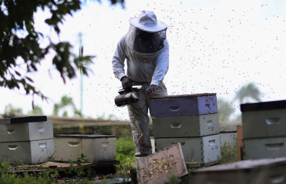 Steve Corniffe works on collecting honey produced by the bees at the J & P Apiary and Gentzel's Bees, Honey and Pollination Company on April 10, 2013 in Homestead, Florida. Honey bee owners along with scientists continue to try to figure out what is causing bees to succumb to the colony collapse disorder which has devastated apiaries around the country. Reports indicate that the disorder which kills off thousands of bees at a time has resulted in the loss of some 30 percent of honey bee populations among beekeepers since 2007.  (Joe Raedle/Getty Images)