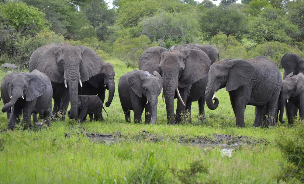A herd of African Elephants at Kruger National Park in South Africa. In his new book, Frans de Waal writes that African Elephants might be able to hear thunder and rainfall hundreds of miles away, and they can classify humans based on language, age and gender. (Vaughan Leiberum/Flickr)