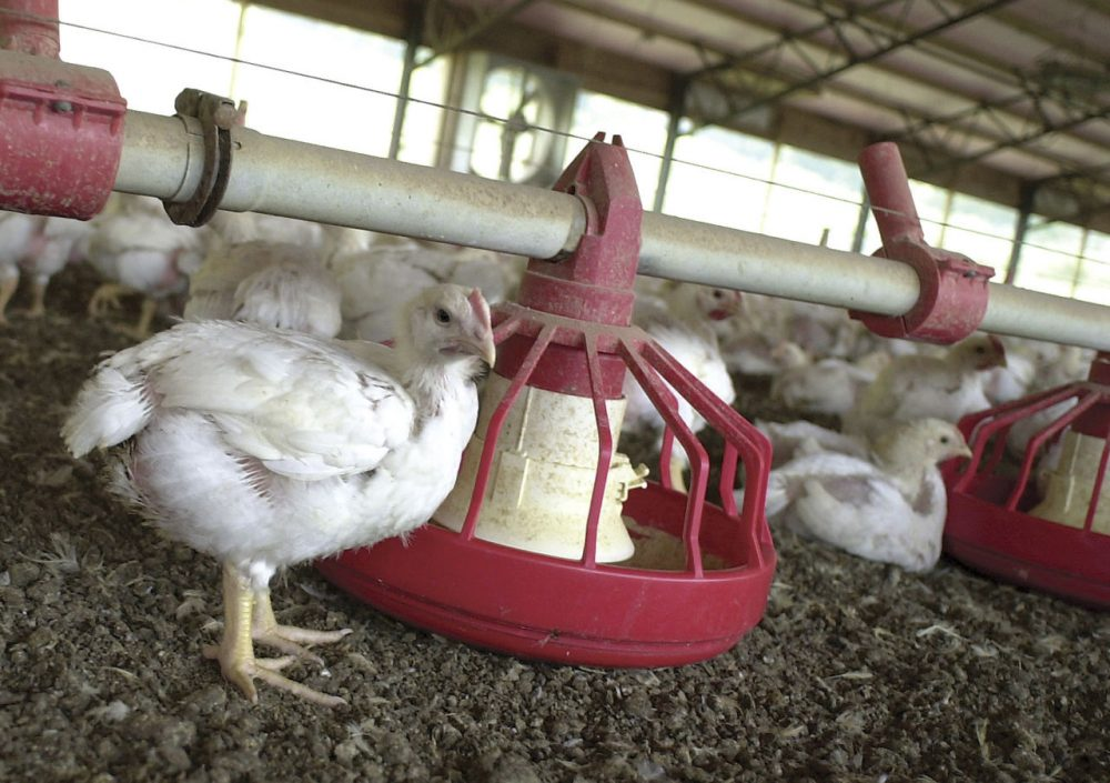 "In this file photo taken June 19, 2003, chickens gather around a feeder in a Tyson Foods Inc., poultry house near Farmington, Ark. A report released May 10, 2016, by international advocacy group Oxfam says some poultry workers in the United States are denied bathroom breaks. A Tyson worker said in the report that many workers at his North Carolina plant ""have to urinate in their pants."" Tyson said it's ""concerned"" by the claims, but currently has ""no evidence they're true."" (April L. Brown/AP)"