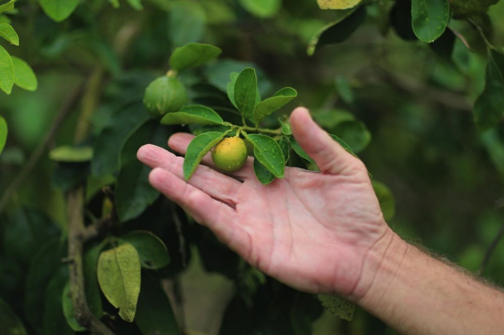 "Guy Davies, an inspector of the Florida Division of Plant Industry, shows an orange that is showing signs of ""citrus greening"" that is caused by the Asian citrus psyllid that carries the bacterium causing disease, ""citrus greening"" or huanglongbing, from tree to tree on May 13, 2013 in Fort Pierce, Florida. There is no known cure for the disease that forms when the insect deposits the bacterium on citrus trees causing the leaves on the tree to turn yellow the roots to decay and bitter fruits fall off the dying branches prematurely. Steps continue to be taken to try and combat the disease but none have stopped the attack on the citrus business as it spreads from Florida to other citrus producing states.  (Joe Raedle/Getty Images)"