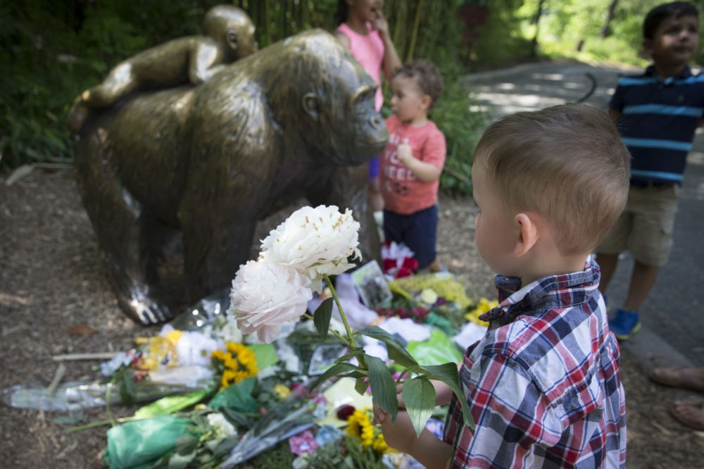 A boy brings flowers to put beside a statue of a gorilla outside the shuttered Gorilla World exhibit at the Cincinnati Zoo & Botanical Garden, Monday, May 30, 2016, in Cincinnati. A gorilla named Harambe was killed by a special zoo response team on Saturday after a 4-year-old boy slipped into an exhibit and it was concluded his life was in danger. (/John Minchillo/AP)