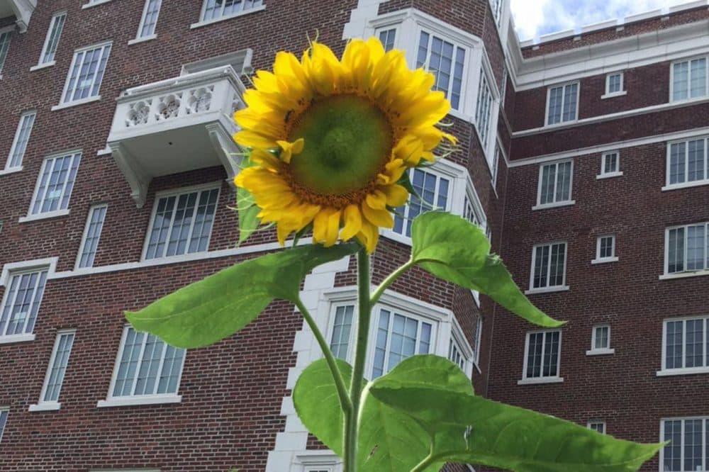A sunflower reaches high in executive producer Karen Shiffman's community garden plot in the summer of 2015. (Karen Shiffman / WBUR)