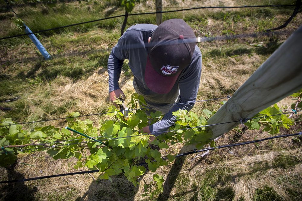 Dan Ramsey, an intern from UMass Amherst, tying up grapevines in the vineyard. (Jesse Costa/WBUR)