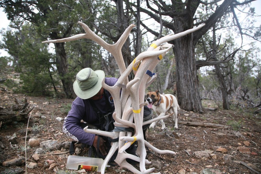 Bennett Wakayuta straps several antlers to his backpack deep in the wildnerness of the Hualapai reservation. (Stina Sieg/KJZZ)