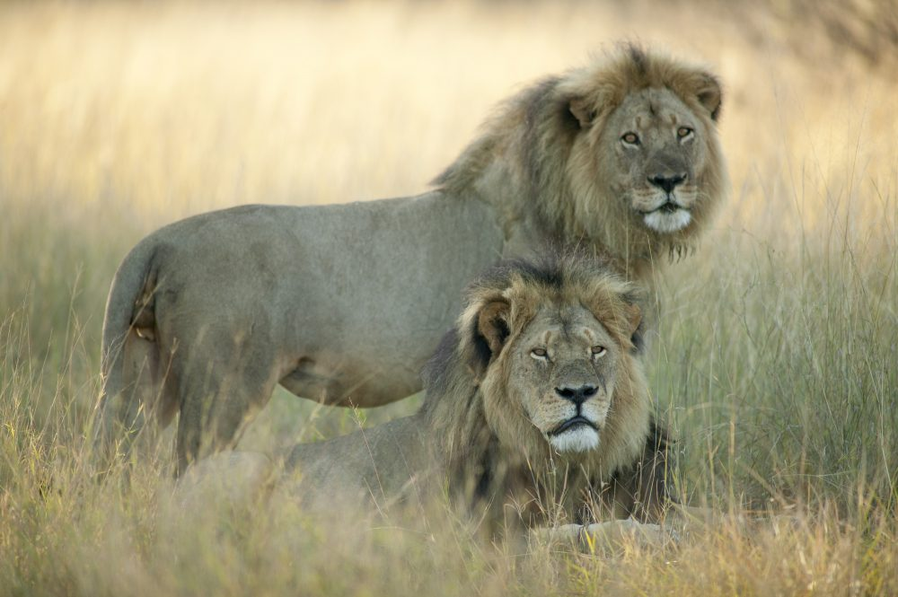 Cecil (bottom) and Jericho, pictured in Hwange National Park in Zimbabwe, Africa. (Courtesy/Brent Stapelkamp via Scholastic Press/Scholastic)