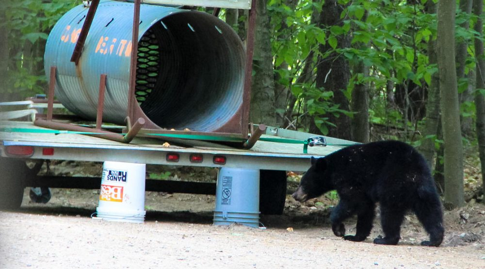 Lured by donuts, the bear approaches the trap. (Sean Hurley/NHPR)