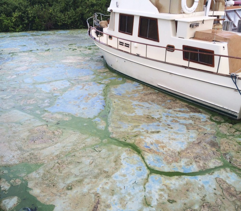 Algae covered water at Stuart's Central Marine boat docks is thick, Thursday, June 30, 2016, in Stuart, Fla. Officials want federal action along a stretch of Florida's Atlantic coast where the governor has declared a state of emergency over algae blooms.  (AP Photo/Terry Spencer)