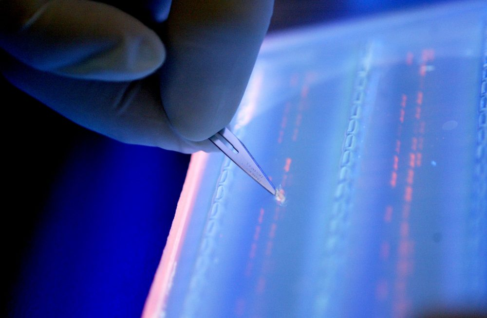 A lab officer cuts a DNA fragment under UV light from an agarose gel for DNA sequencing on April 19, 2007 in Singapore. (Wong Maye-E/AP)