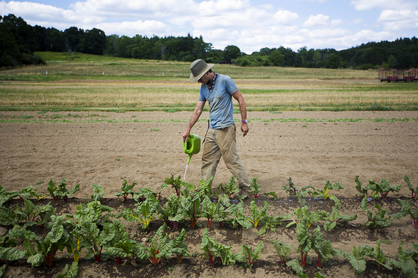 Drumlin Farm crop manager Matt Celona hand waters a row of Swiss chard. (Jesse Costa/WBUR)
