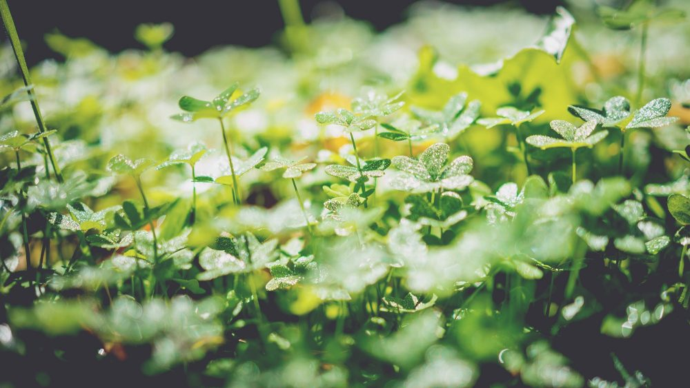 A field of four-leaf clovers (Irene Dávila/Unsplash)